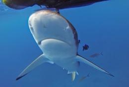 fcefa-Galap_shark.tiff_